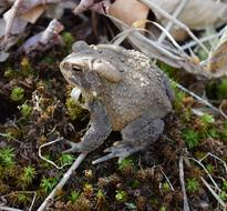 grey Common Toad