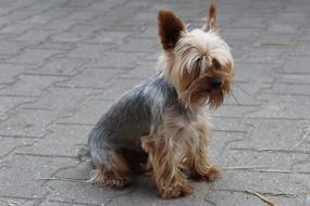 Yorkshire Terrier is sitting on the road