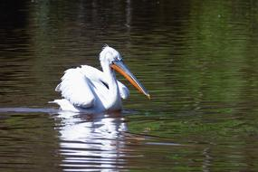 pelican swims in a pond in a park
