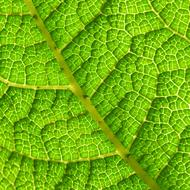 macro photo of veins of bright green leaf