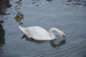 long-necked white swan drinks from the lake