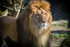 Lion with Big mane in Zoo