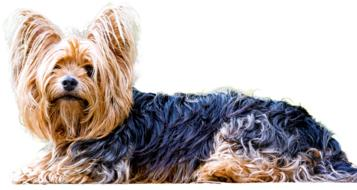 charming Yorkshire Terrier