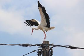 Stork perched Utility pole