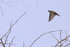Common Starling Bird blue sky
