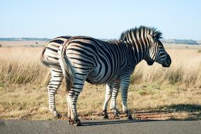 Zebras Animal Mammal