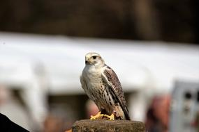 incredibly charming Saker Falcon Bird