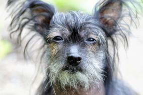 Chinese Crested Dog face
