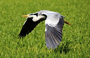 Heron Flight green grass
