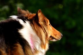 red and white Collie Dog