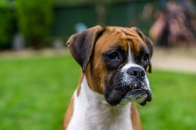 Boxer Dog green background