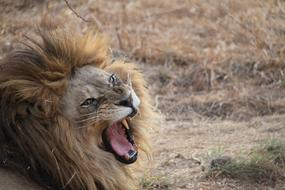 angry Lion South Africa