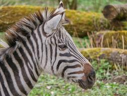 head of Zebra close up, side view