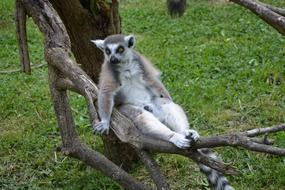 ringtail lemur rests on dry tree in Zoo