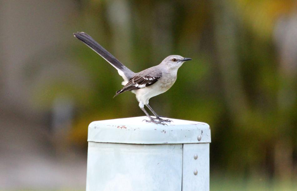 Polyphonic Mockingbird at top of metal construction