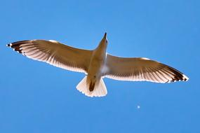 Seagull blue Sky Flying