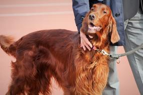 photo of a purebred brown dog at the show
