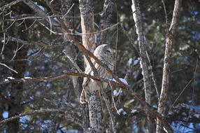 grey Owl on bare Tree at winter