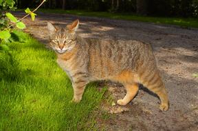 graceful hollow cat walks along the road