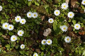 cute white daisies in the flower bed