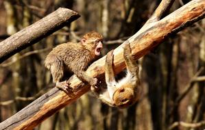 two cute young Berber Monkeys Play on dry tree