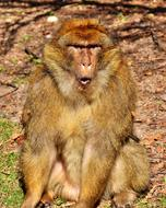 Barbary Ape monkey mountain