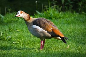 Egyptian goose on lawn