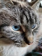 photo portrait of a tabby cat with blue eyes