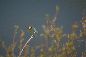 European Bee Eater Flies