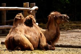 Camel resting on ground in Zoo