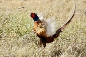 male Pheasant landing on grass