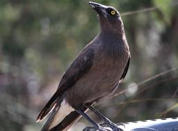 Currawong Grey bird