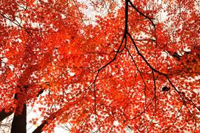 red maple leaves on the tree in autumn park