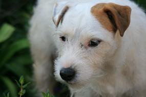 White Jack Russell Dog