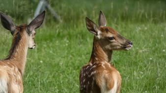 two young deer on a green meadow