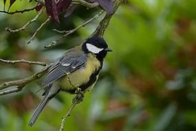 great Tit perched branch
