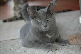 charming british grey cat