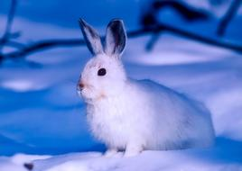 Arctic hare on snow, Canada