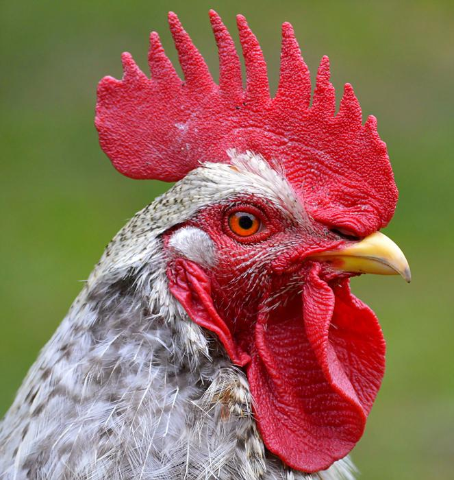 macro photo of a rooster with a red comb