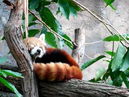 Red Panda resting on tree trunk