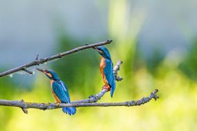 Kingfisher Birds Colorful lue