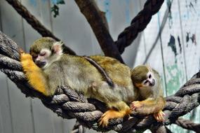 adult and young Monkeys sleeping on rope in zoo