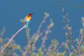 European Bee Eater, Colorful bird on twig at sky