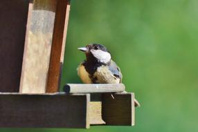charmingly Tit Bird Foraging