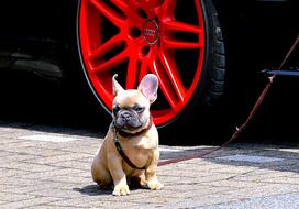 French Bulldog Ears red wheel