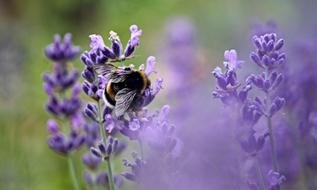 fluffy bumblebee is sitting on blooming lavender