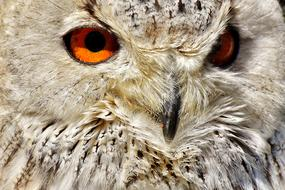 Owl red eyes