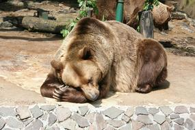 brown Bear laying on ground in zoo