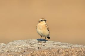 charming Bird Gray Wheatear