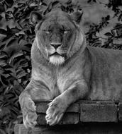 Lion Animal Wild black and white